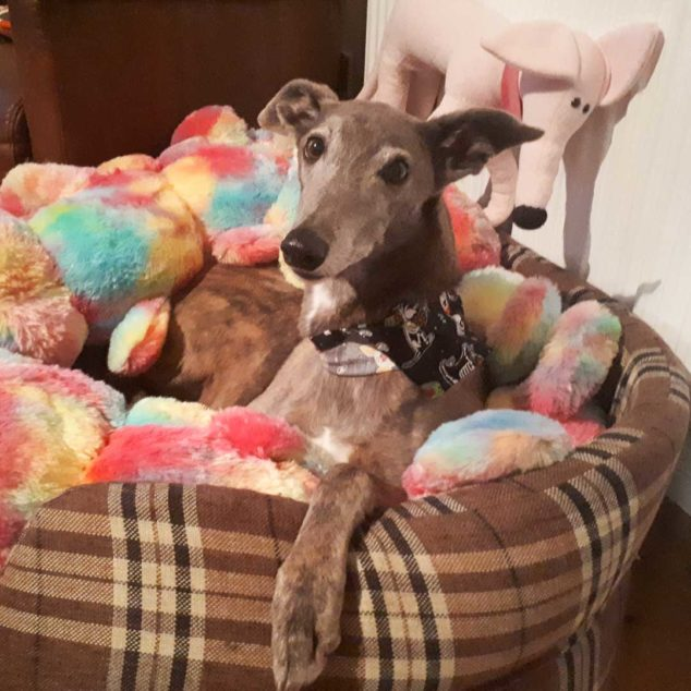 Doris, a lurcher dog on a dog bed with giant caterpillar toy.