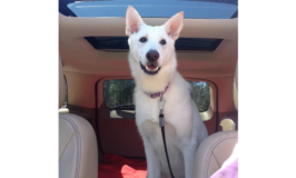 White German Shepherd dog in a car.