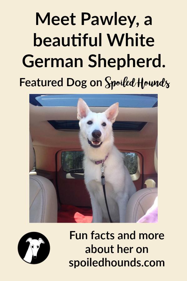 A White German Shepherd dog