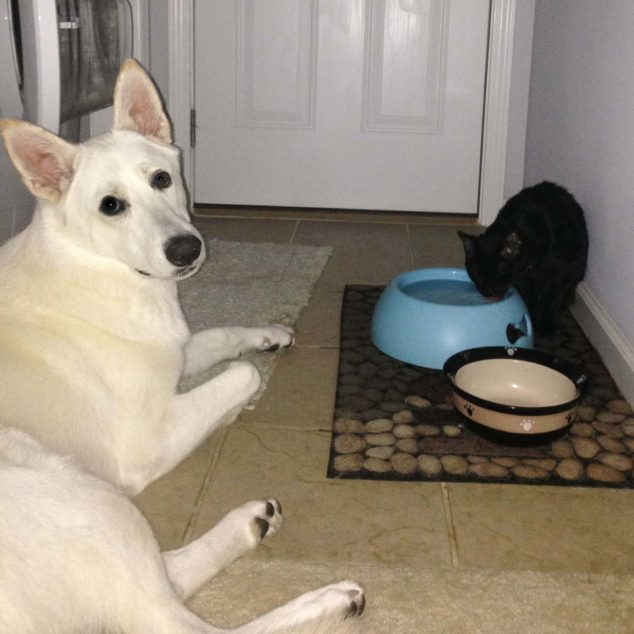 White German Shepherd dog and black cat drinking water from dog bowl.
