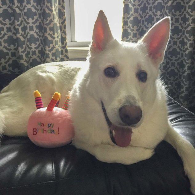 White German Shepherd dog with pink dog toy.