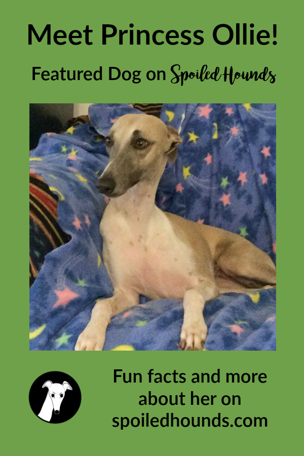 Meet Princess Ollie, a beautiful whippet dog. #whippet #dogs