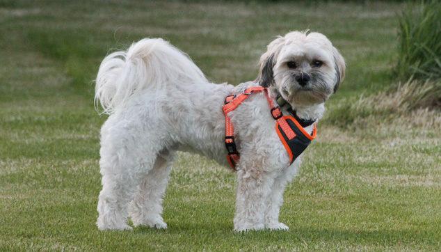 Archie Zuchon Teddy Bear Dog