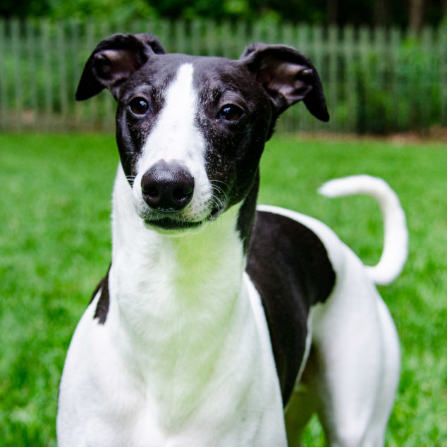 Black and white whippet dog.