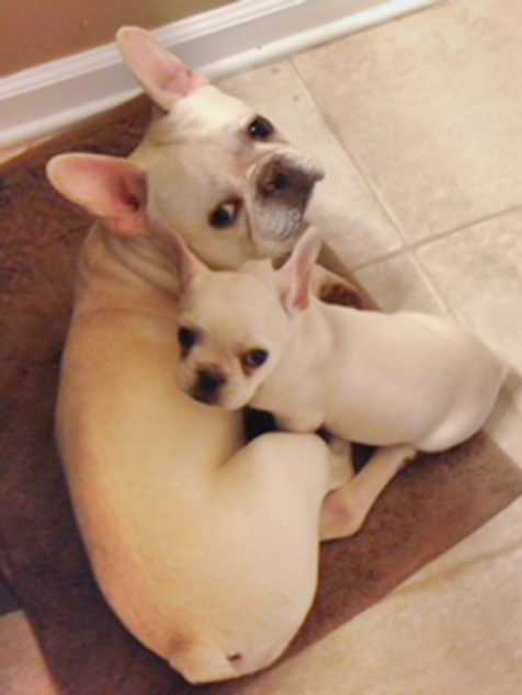 Two French Bulldogs lying together.