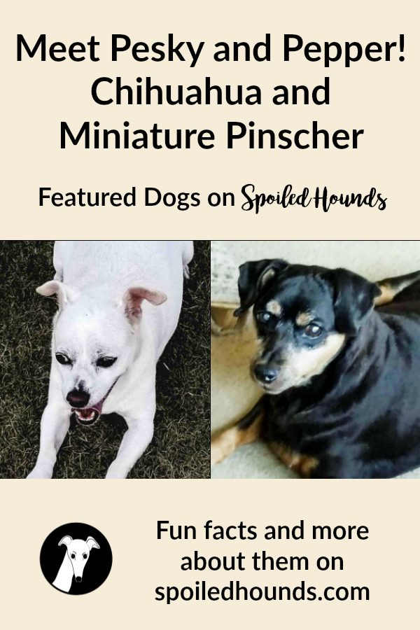 Pesky and Pepper - Chihuahua and Miniature Pinscher. #dogs #chihuahua #minaturepinscher #minpin
