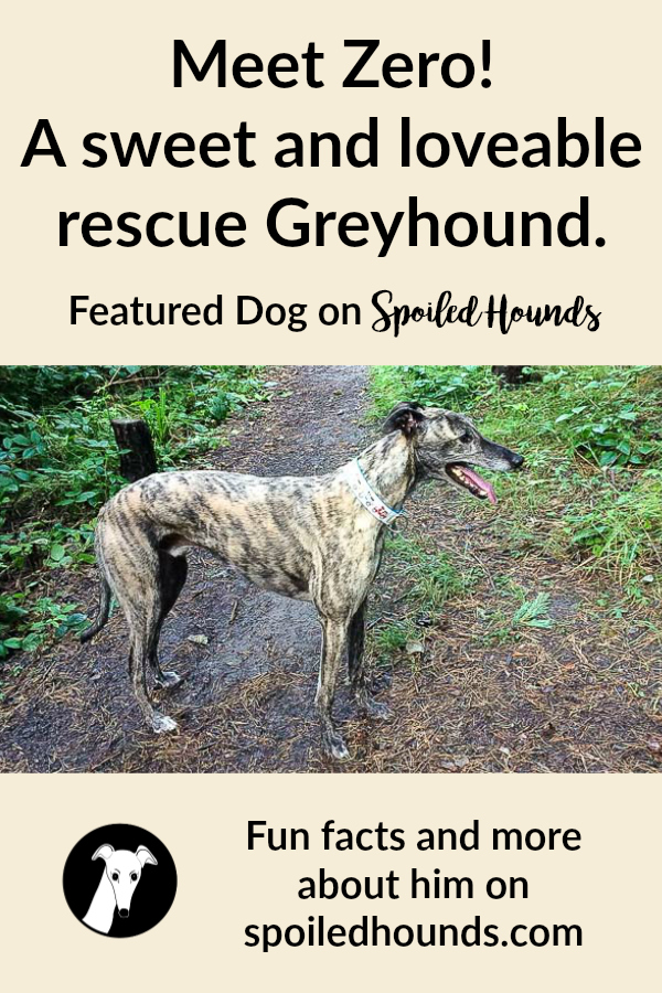 Zero the Greyhound. #dogs #greyhound