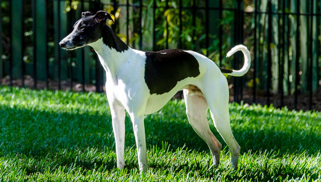 Black and white whippet dog standing on grass.