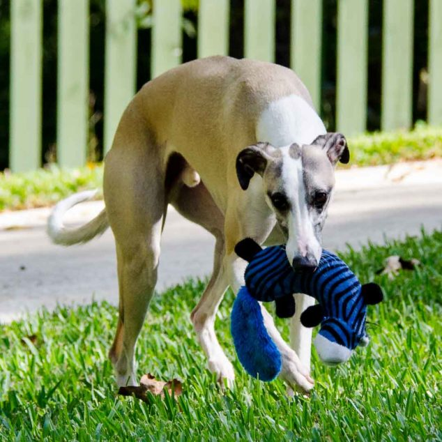 Fawn whippet dog with blue dog toy.