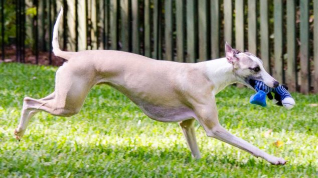 Fawn whippet dog running with a blue dog toy.