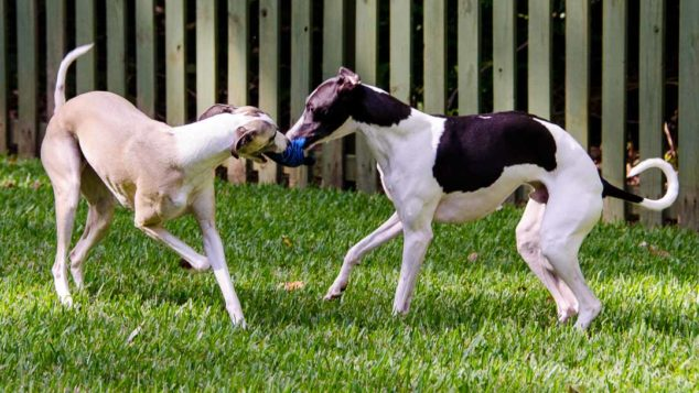 Two whippet dogs tugging on a toy.