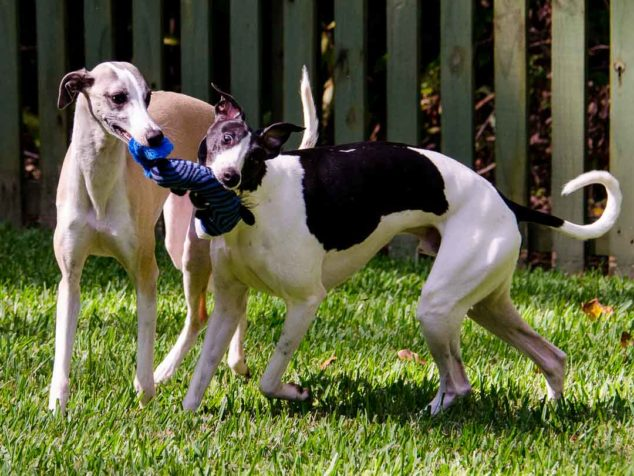 Two whippet dogs sharing a dog toy.