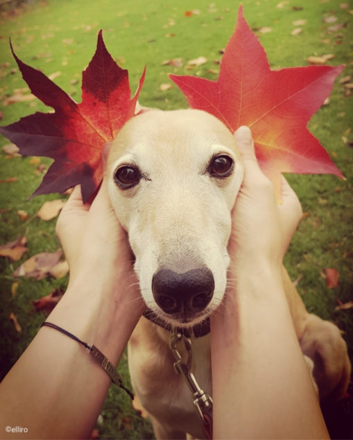Whippet dog with leaves by his ears.