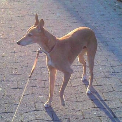 Brown whippet dog standing on bricks.