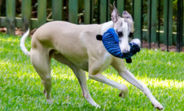 Whippet running with Spot ZooYood Dog Toy