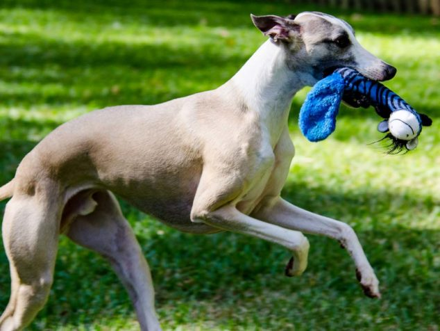 Fawn whippet dog with blue dog toy in its mouth.