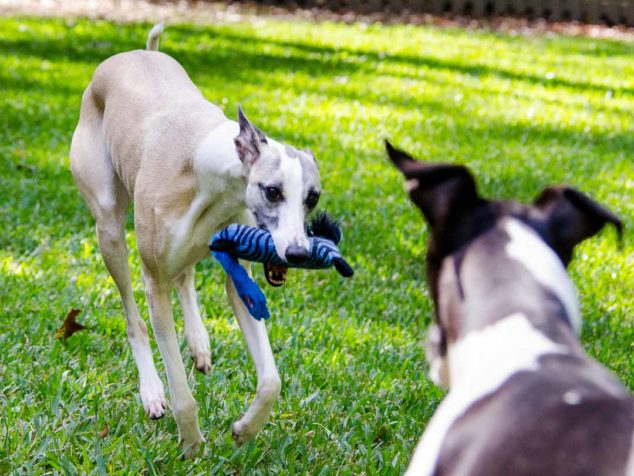 Whippets and ZooYoods dog toy.