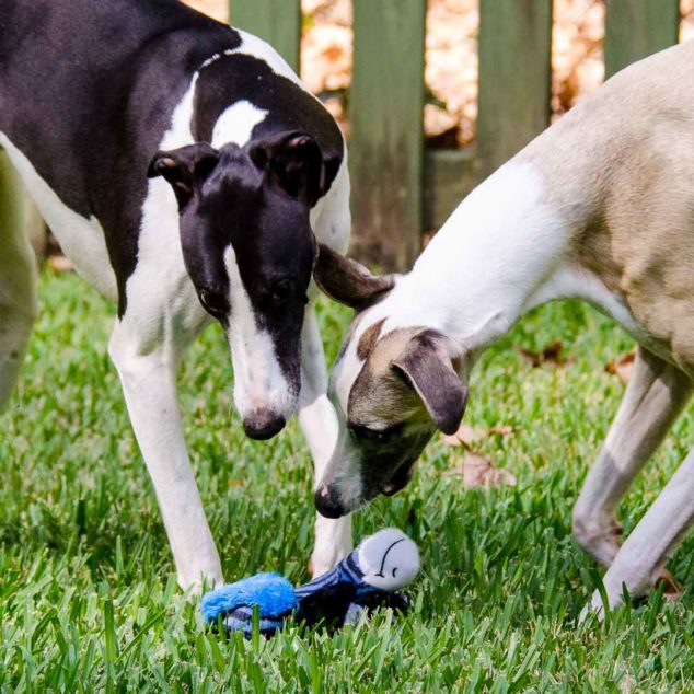 Two whippet dogs leaning over ZooYoos dog toy.