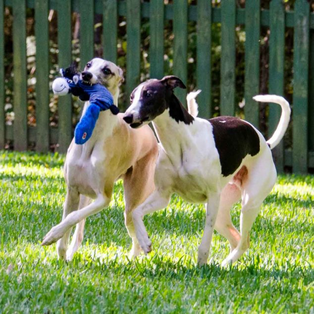 Two whippet dogs walking with dog toy.