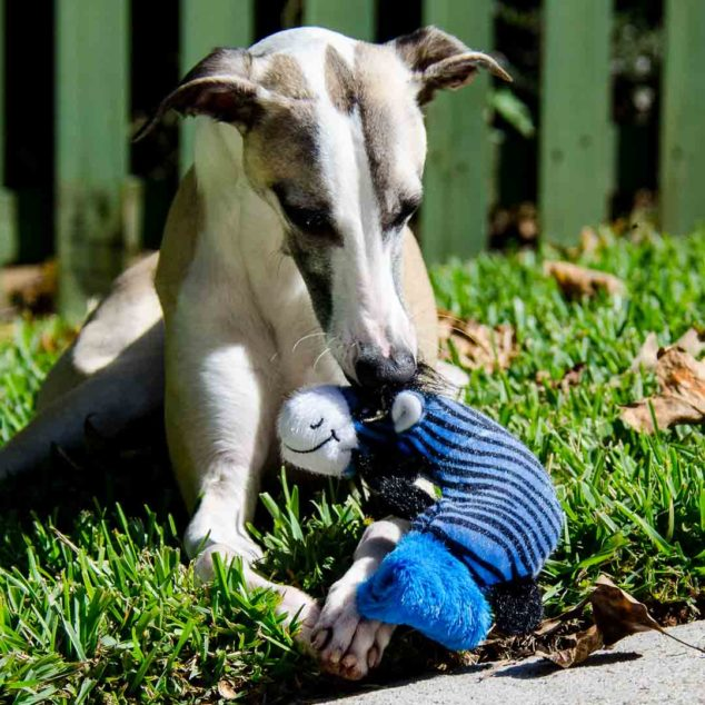 Whippet dog with blue ZooYoos dog toy.