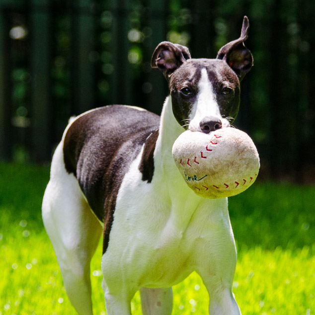 Black and white whippet dog with a ball in its mouth