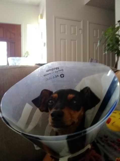 Black and brown dog wearing protective cone.
