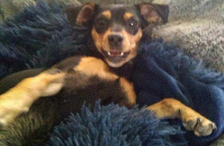 Brown and black dog on blue blanket
