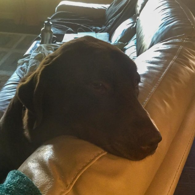 Brown labrador retriever dog on a couch