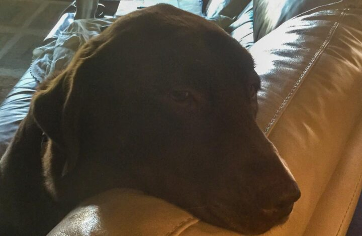 Brown labrador retriever dog on a couch