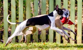 Two whippets running with a Santa dog toy