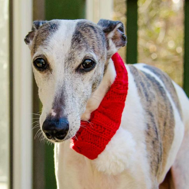 Whippet dog wearing red scarf