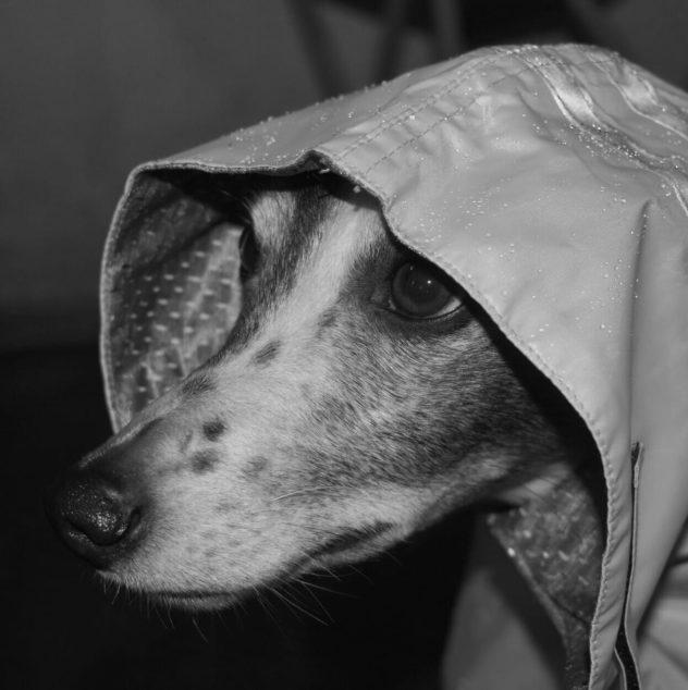 Whippet wearing a dog rain coat