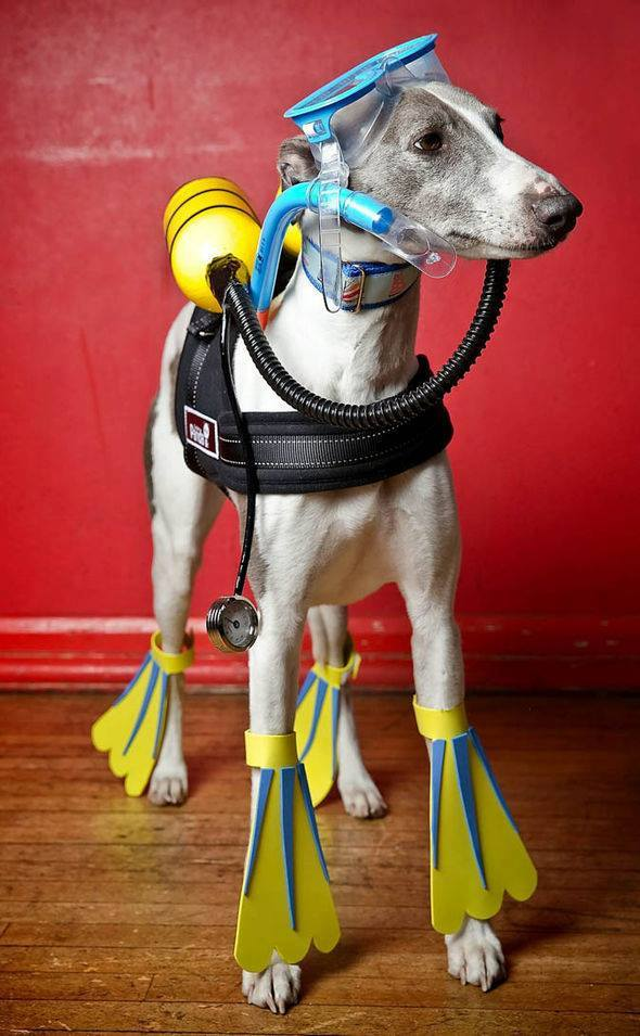 Whippet wearing scuba diving costume