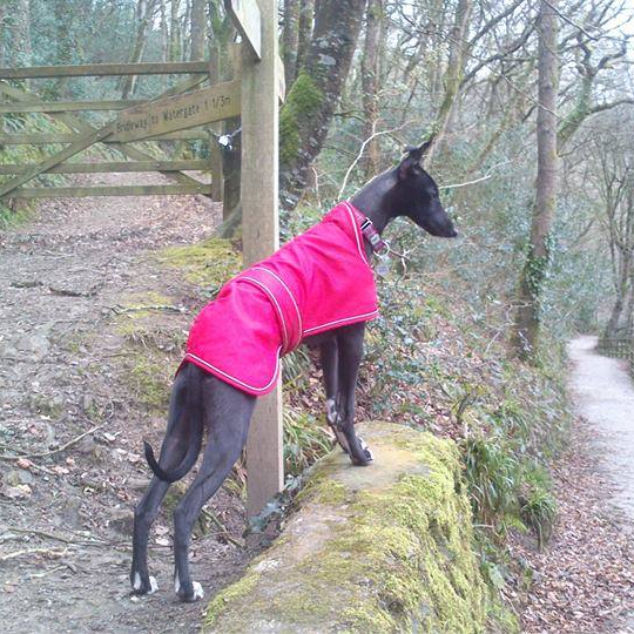 Black whippet wearing a pink dog coat