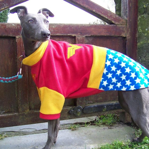 Whippet wearing a Wonder Woman jumper