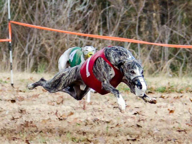Whippet running in a race