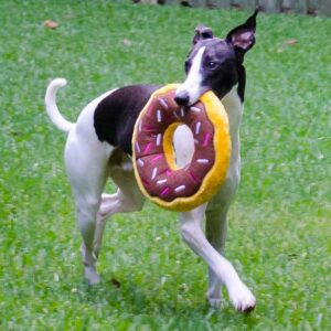 Black and white whippet with donut dog toy