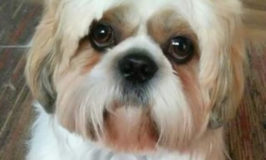 Shih Tzu dog named Einstein