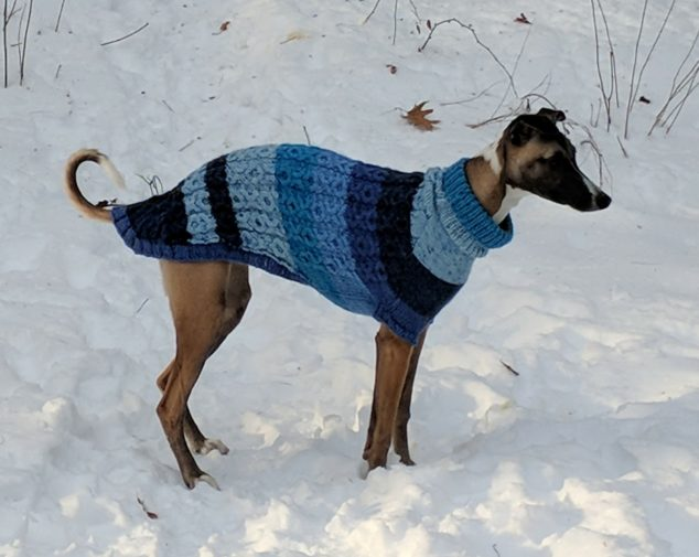 Whippet wearing a blue striped dog sweater