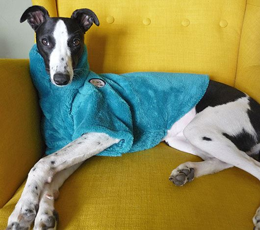 Black and white whippet wearing a blue dog jumper