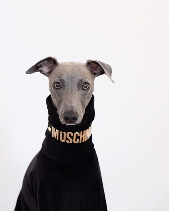 Whippet wearing a designer dog coat