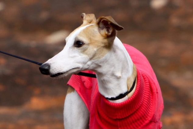 Brown and white whippet wearing a red sweater