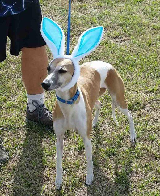 Whippet wearing bunny ears