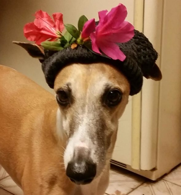 Whippet dog wearing a flower hat