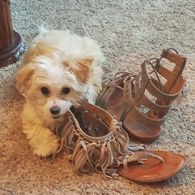 Maltipoo dog chewing on a shoe.