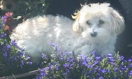 White Maltipoo dog lying next to purple flowers.