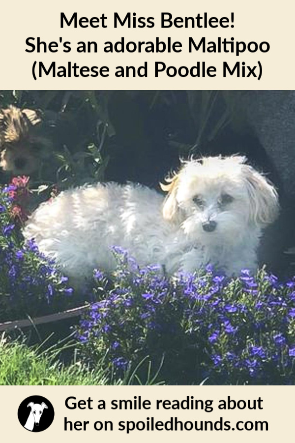 White Malitpoo dog next to purple flowers.
