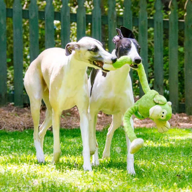 Two whippets playing with a monkey dog toy