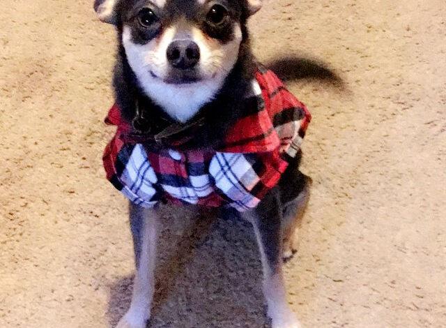 Chihuahua and Miniature Pinscher cross dog