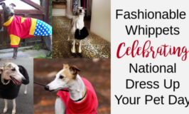 Collage of four whippets wearing outfits